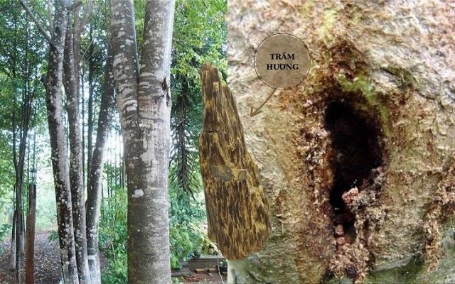 Trầm hương là sản phẩm nổi tiếng xuất phát từ các cánh rừng rậm Việt Nam