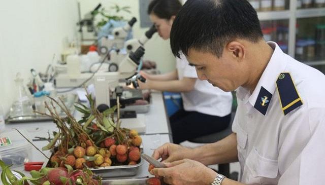 Cơ quan chức năng tiến hành quy trình kiểm dịch thực vật