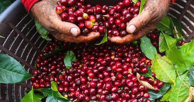 Hồ sơ hải quan xuất khẩu cà phê phải thực hiện theo quy định pháp luật